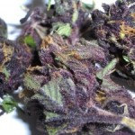 Purple Haze # 1