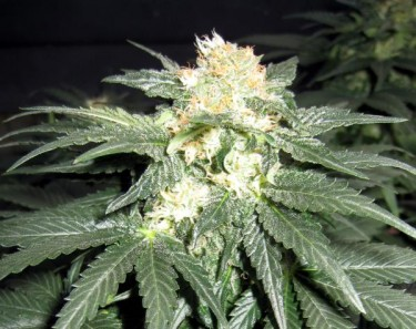 Endless-Sky-Marijuana-Strain
