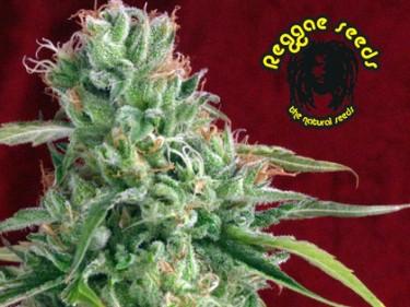 Reggae_Seeds_-_Juanita_la_Lagrimosa