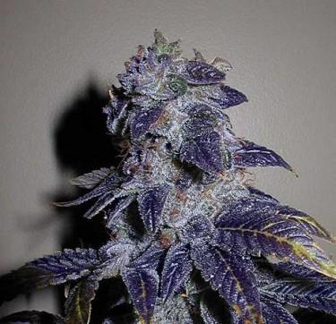 Bubbleberry-Marijuana-Strain