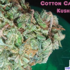 Cotton-Candy-Kush-Close-Up2-1024x768