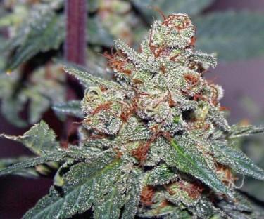 ace-of-spades-marijuana-strain-3