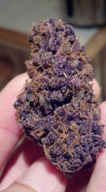 black-domina-marijuana-strain-1