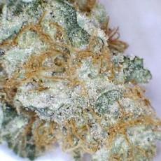 blue-venom-marijuana-strain-3