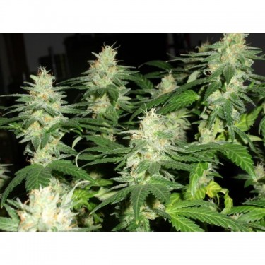 reeferman_seeds_harmony_