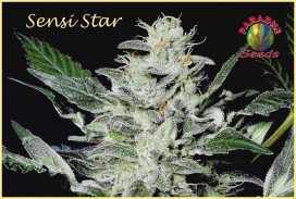 Sensi-Star-Paradise-Seeds