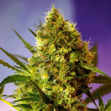 errors seeds, marijuana, weed, strain, семена конопли, конопля,
