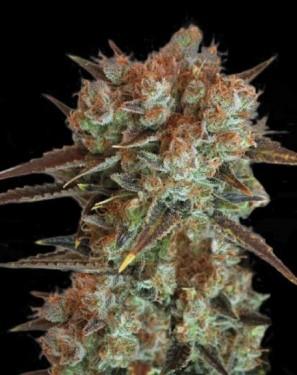 caramel-king-bulk-seeds