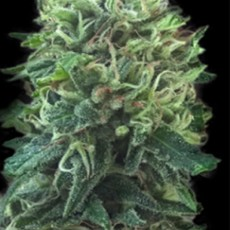 green-scout-cookies