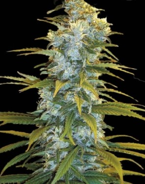 northern-light-bulk-seeds