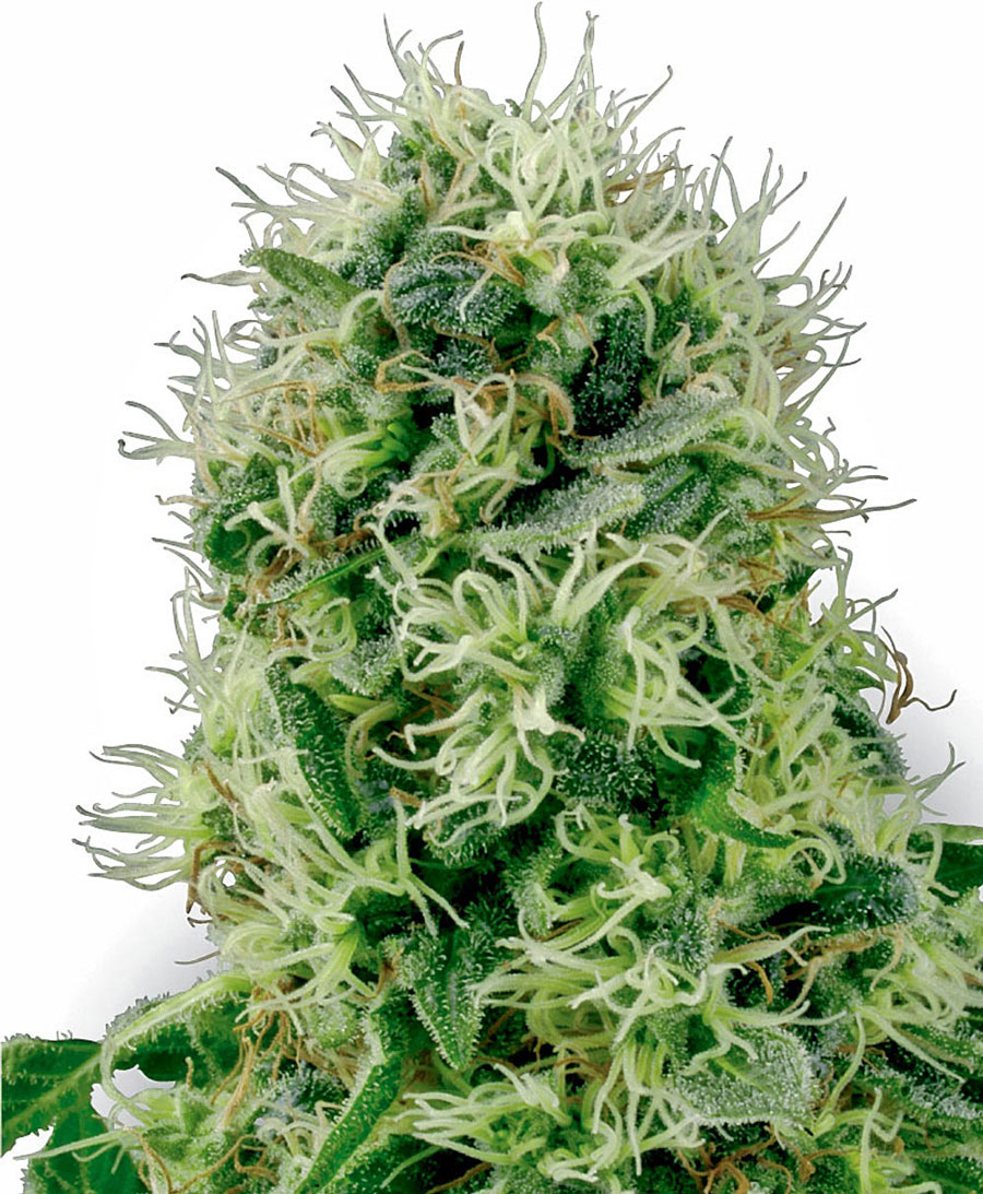 Сорта марихуаны power plant марихуана в техасе