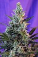 sweet skunk, errors seeds, marijuana, weed, strain, семена конопли, конопля, свит сканк, тгк, thc,