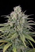 errors seeds, marijuana, weed, strain, семена конопли, конопля, эксодус чиз, кбд,