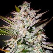 holy punch, green house seeds, ghs, feminised seeds, cannabis seeds, семена конопли, сортовая марихуана, ганжа, 420, ganja, cannabis,
