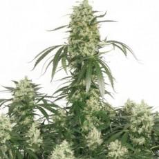 medical cannabis, CBD, feminised seeds, errors seeds, autoflowering, автоцветущие, феминизированные, семена конопли, сортовая марихуана