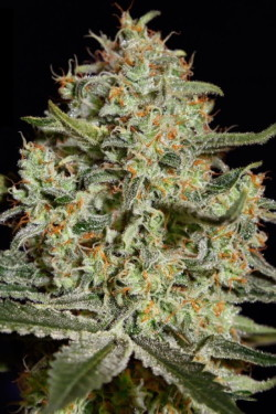 сортовая марихуана